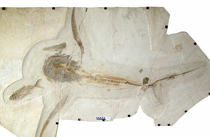 Fossilet av ørne-haien ble funnet i Mexico.