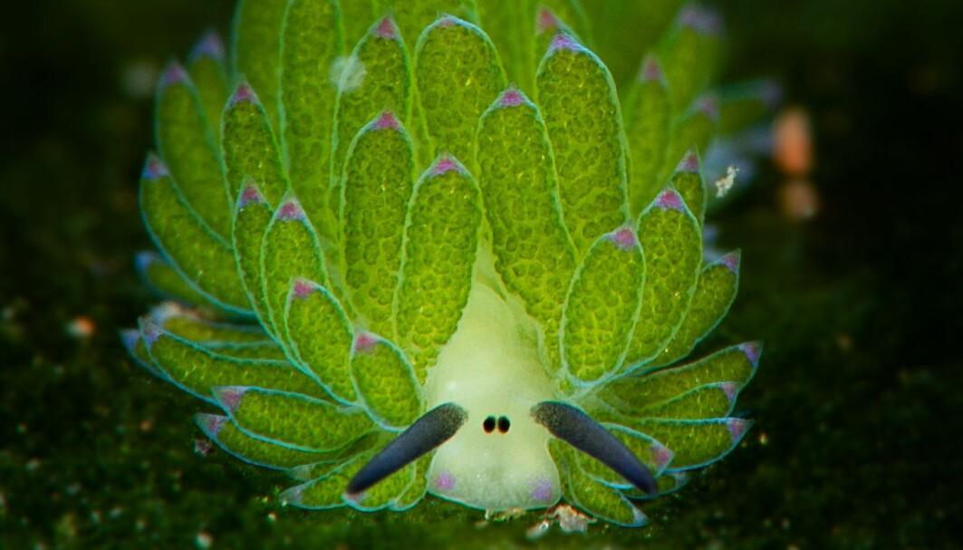 Dykkere på Filippinene syns blad-sjøsneglen ligner en kjent barne-TV-sau. Ser du hvilken?