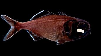 Fiskene varsler hverandre om fare med innebygd lampe