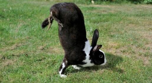 Hvorfor går denne kaninen på forlabbene?