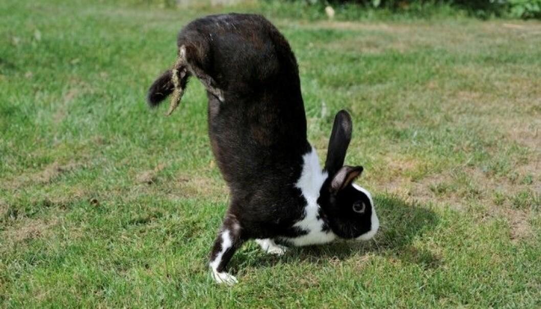 Sauteur d'Alfort-kaninene går på frambeina når de skynder seg eller skal gå langt, i stedet for å hoppe som andre kaniner.