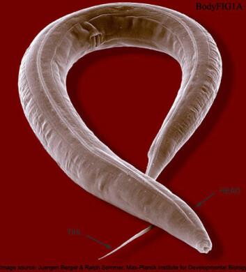 Den mikroskopiske ormen, Caenorhabditis Elegans, levde etter oppholdet i rommet lenger og ble sunnere enn artsfrendene på jorden. (Foto: Wormatlas)