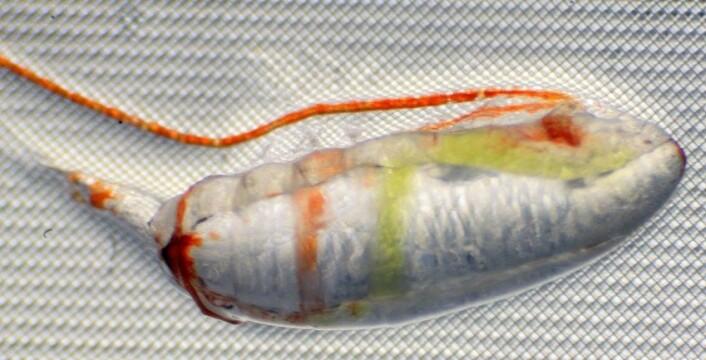 Når man ser ordentlig nøye på ei raudåte, ser man tarmen, full av grønn algemat, som kveiler seg nedover kroppen. Den hvite pølsa inne i kroppen er fettsekken som Sigrun Jonasdottir måler. (Foto: Sigrun Jonasdottir)