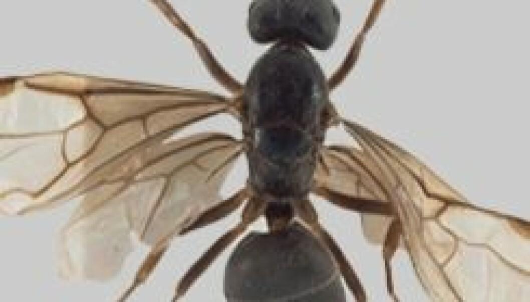 Ny maurart funnet ved Kongsberg
