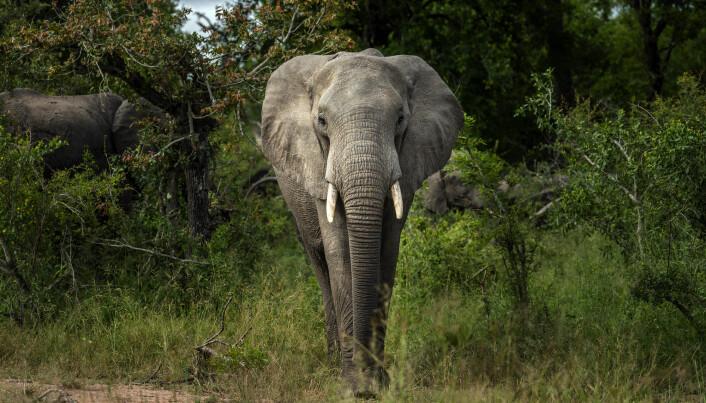 Afrikanske elefanter er blitt truet dyreart