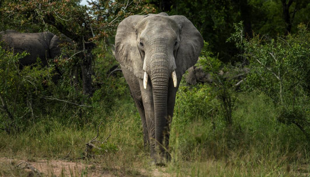 En savanneelefant i Kruger National Park i Sør-Afrika.