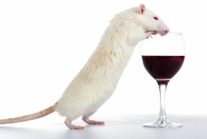 Forsøk viser at mutasjonar i eit bestemt gen fører til større hang til å drikke alkohol. (Foto: Colourbox)