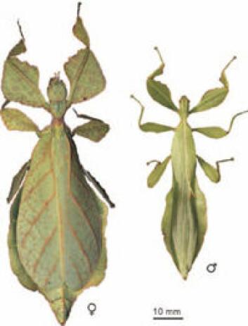 """Phyllium celebicum - et moderne insekt med bladkamuflasje."""
