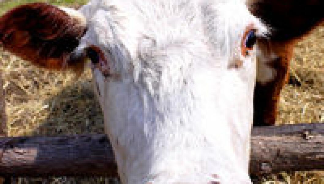 """""""MRSA hos produksjonsdyr er et økende problem i Europa."""""""
