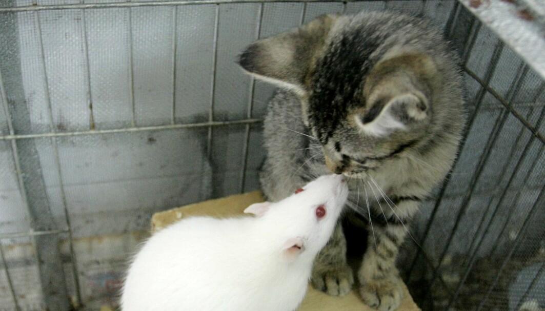 En rotte leker med en katt på dette hyggelige bildet. Men andre kan stå bak. En liten parasitt Toxoplasma kan styre rottene til å ikke være redd for katter, slik at parasitten kan spre seg videre, blant annet til mennesker, gjennom kattens avføring.