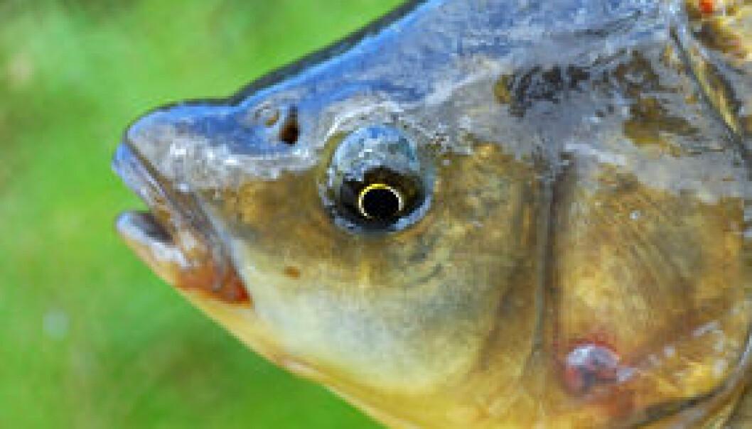 Fisk kan skades av nanopartikler som de får i seg gjennom næringskjeden, viser svensk laboratoriestudie. iStockphoto