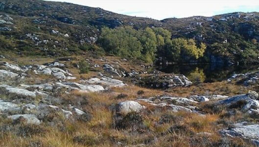 Ospeholt i lynghei. Ivar Gjerde/Skog og landskap