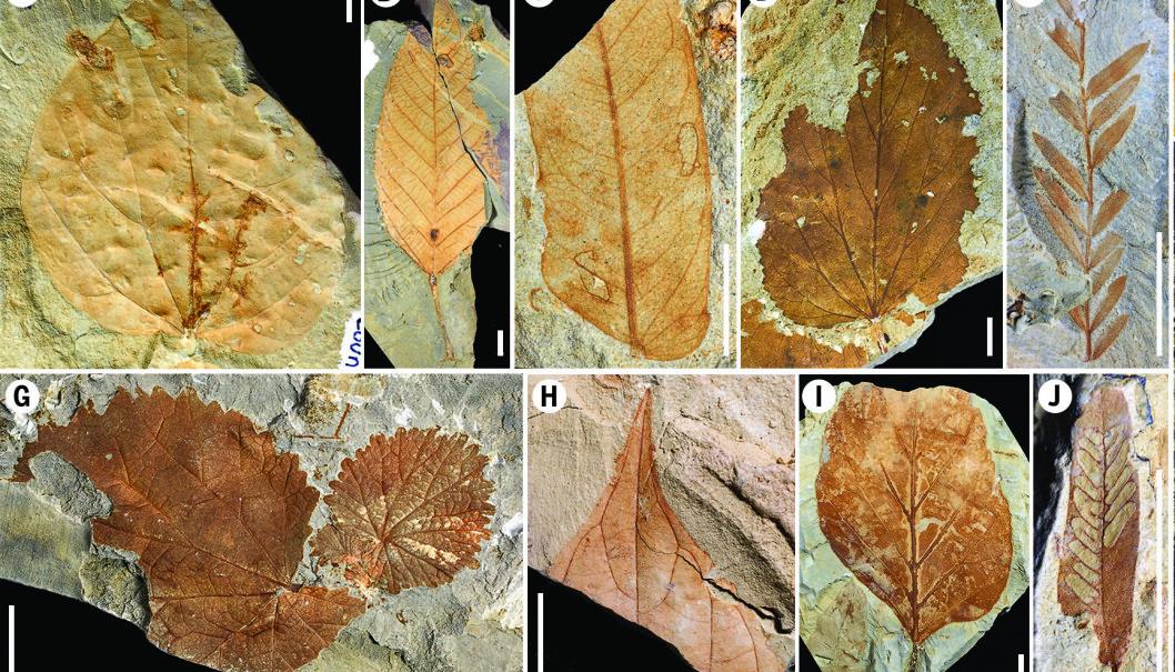 Et utdrag fossiliserte blader fra regnskogen for mange titalls millioner år siden. Disse bladene kan blant annet vise forskjellige typer skader fra insekter, som igjen kan si noe om økosystemet da trærne levde.