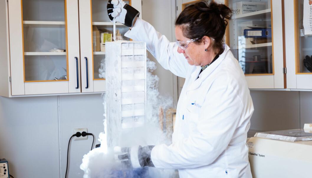 Når Sissel Rønning dyrker kjøtt på laboratoriet, henter hun levende celler fra muskelen til ei ku og har dem i flytende nitrogen til hun skal dyrke dem. Forskere som er skikkelig optimistiske tror vi kan lage 10 000 kilo kjøtt fra en liten muskelbit på ett gram.
