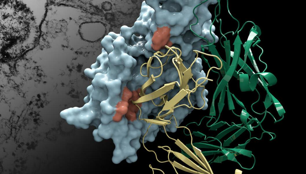 Her vises strukturen på Protein M i blått, og formen på et menneskelig antistoff i gull og grønt. I bakgrunnen ligger et elektronmikroskopbilde av bakterien Mycoplasma genitalium som angriper en celle. (Illustrasjon: Christina Corbaci og Rajesh K. Grover)