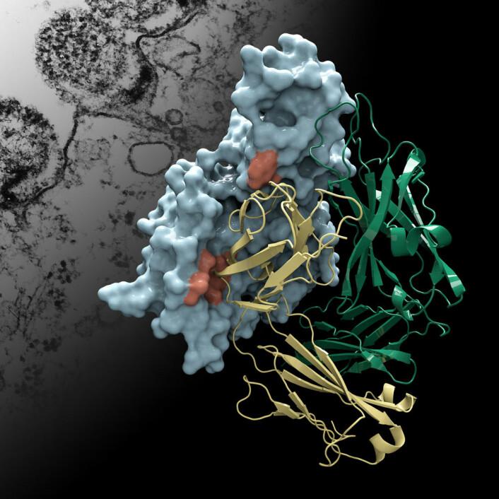 Her vises strukturen på Protein M i blått, og formen på et menneskelig antistoff i gull og grønt. I bakgrunnen ligger et elektronmikroskopbilde av bakterien Mycoplasma genitalium som angriper en celle. (Foto: (Illustrasjon: Christina Corbaci og Rajesh K. Grover))