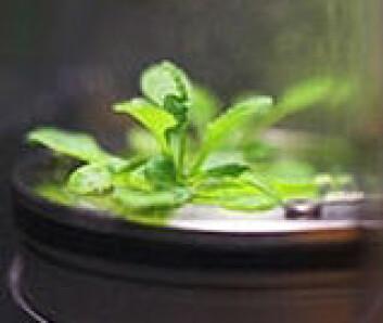Slik ser vårskrinneblom, eller Arabidopsis thaliana, ut i vekstkammer i rommet. (Foto: NASA)