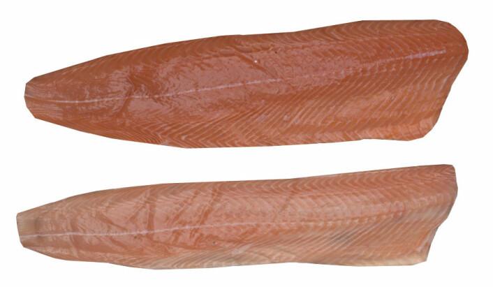 Laksefileter med pankreas-smitte kan ha varierende fager og form. Viruset var påvist i begge disse laksene. Foto: PhotoFish