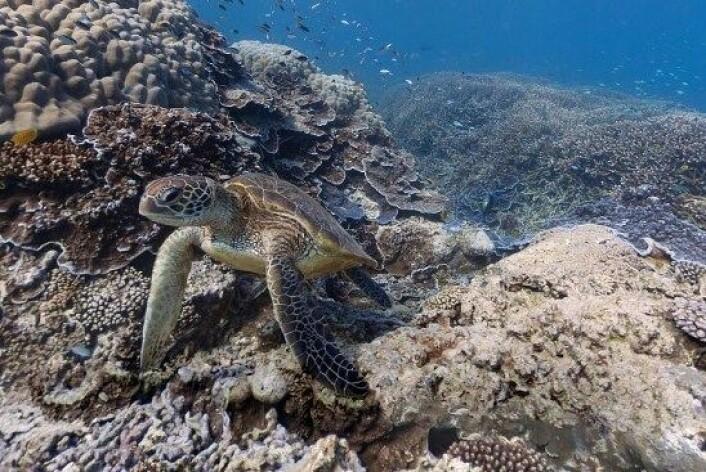 Denne skilpadda befant seg på et tidspunkt utenfor øya Heron i Australia. (Foto: Google Maps/skjermdump NRK)