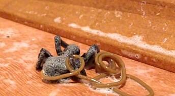 Orm åler seg ut av kroppen til død edderkopp
