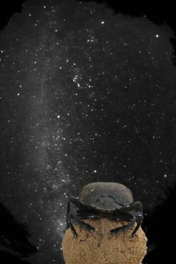 For første gang har forskere sett at et insekt kan navigere etter stjernehimmelen. (Foto: Marcus Byrne)