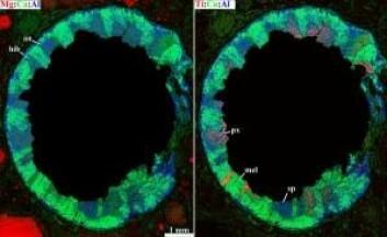 Her er inklusjonen blitt fargekodet. Til venstre angir den røde fargen magnesium, til høyre titan. I begge bilder er det grønne kalsiumet og blått aluminium. Ut fra fargene kan forskerne identifisere mineraler som hibonitt (hib), anortitt (an), pyroksener (px), melilitt (mel) og spinell (sp). (Foto: Center for Stjerne- og Planetdannelse) (Foto: Center for Stjerne- og Planetdannelse)