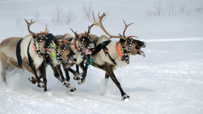 Norske forskere avslørte hvordan reinsdyra holder hodet kaldt. (Illustrasjonsfoto: iStockphoto)