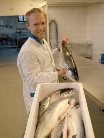 Stipendiat Jørgen Lerfall på jakt etter fiskefileter med spor etter pankreas-smitte. (Foto: Vegard Stensvold)