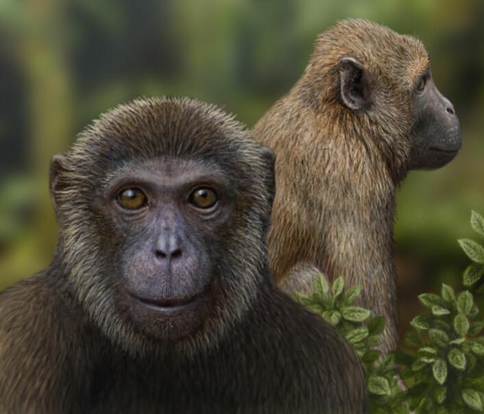 En kunstners forestilling av hvordan Rukwapithecus (foran) og Nsungwepithecus (bak) kan ha sett ut. De to nye artene representerer hver sin grein i den evolusjonsmessige splitten blant aper i Afrika for mer enn 25 millioner år siden. (Foto: (Illustrasjon: Mauricio Antón))