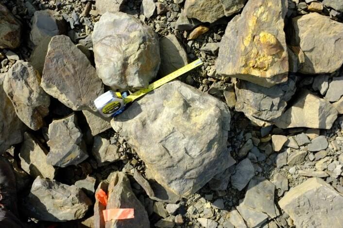 Ekspedisjonen fant ikke bare dinosaurspor, men også bladfossiler som gir et nytt bilde av omgivelsene dyra levde i. Her ligger et bladfossil til venstre for målebånd og fotavstøpning. (Foto: Jørn Hurum, Naturhistorisk museum)