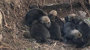 Tetthet og innavl påvirker når ulv i Skandinavia får sine første valpekull