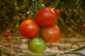 Tomat i veksthus kan smake like godt som solmodne tomater fra Spania mener forskere i Bioforsk. (Foto: Jon Schärer)