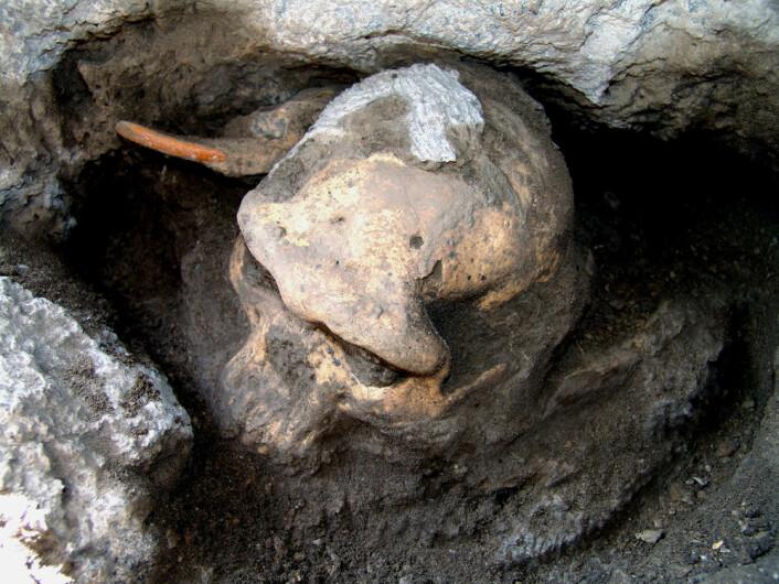 Skalle 5, eller Dmanisi D4500, på utgravningsstedet. Bak skallen ligger tanna fra en stor gnager. (Foto: Georgian National Museum)