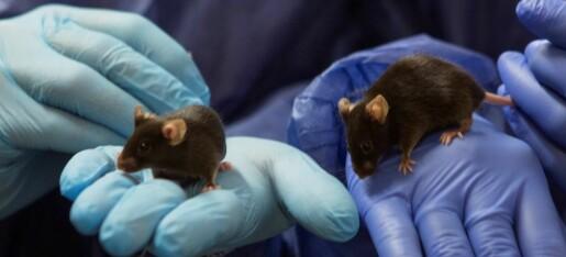 Forskning på mus ga nye funn om Føllings sykdom