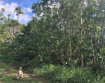 Kafferester hjelper regnskogen å vokse