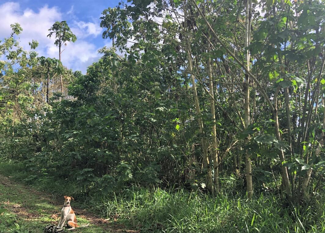 Gamle rester etter kaffe hjelper regnskogen med å vokse. Slik så regnskogen ut etter to år med kaffegrut på bakken.