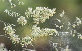Slik vil forskere forutse hvor ille pollensesongen blir