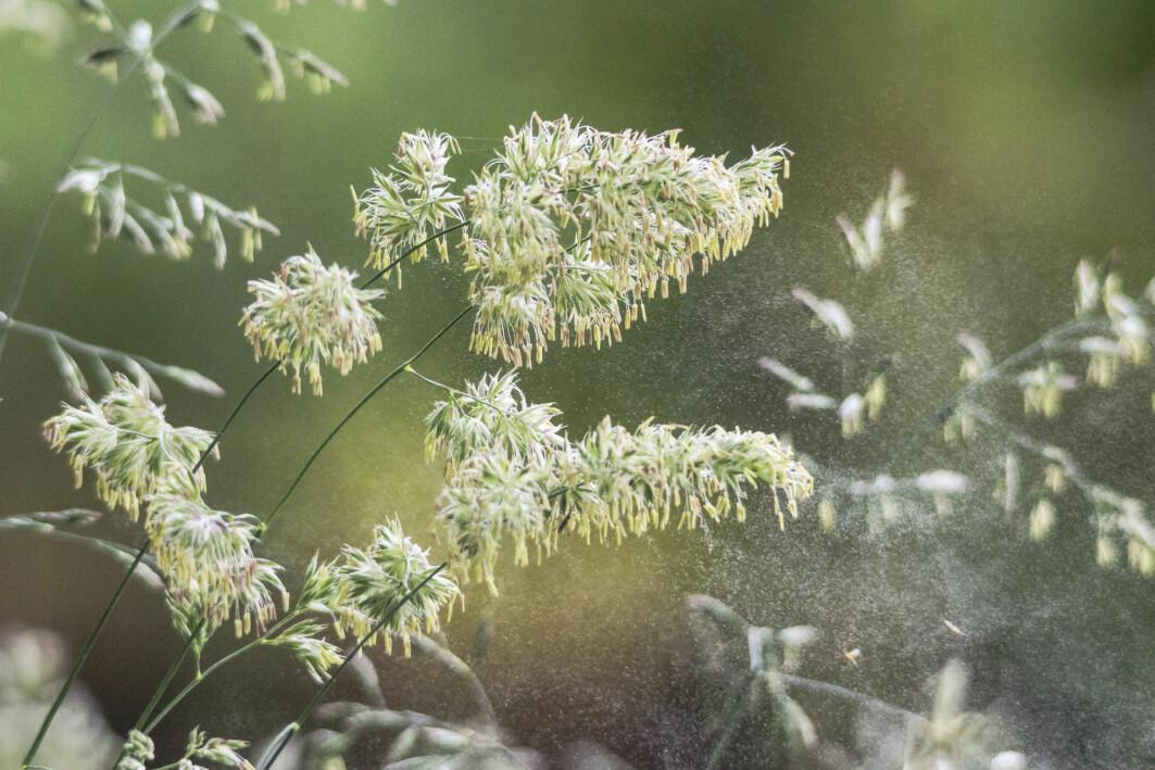 Gresspollen fører til store plager for mange. En ny metode skal forutse hvor ille sesongen blir.