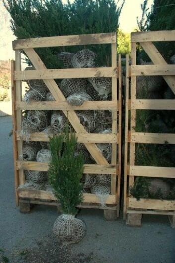 """""""Hvert år importeres flere hundre tusen grøntanleggsplanter til Norge. Foto: Arnstein Staverløkk."""""""