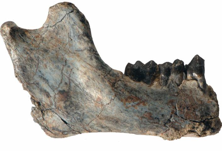 25,2 millioner år gammel underkjeve av R. flanglei med flere tenner intakt. (Foto: Patrick O'Connor, Ohio University Heritage College of Osteopathic Medicine)