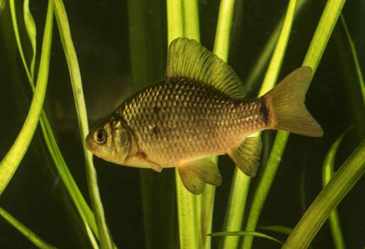 Denne fisken vokser i høyden og skifter farge når det er gjedde i nærheten