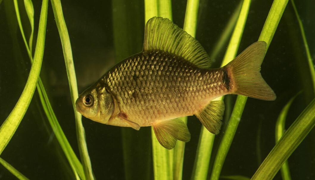 Karuss er et fiskeslag som er i nær slekt med gullfisk. Den finnes i dammer og små vann i Norge.