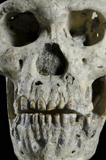 Ansiktet til Skalle 5. Det lille kraniet har et imponerende kjeveparti. (Foto: Guram Bumbiashvili, Georgian National Museum)