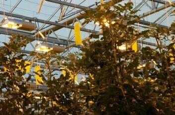 Mye lys gir større avlinger, men påvirker ikke sukkerinnhold i tomaten. (Foto: Jon Schärer)