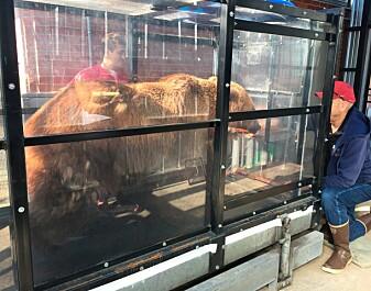 Grizzlybjørner vil helst slippe å bli slitne