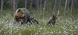 Høyeste antall hunnbjørner som er påvist i Norge siden 2009