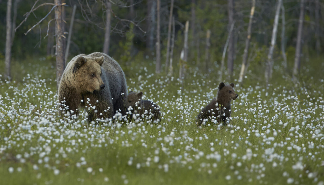 Det har heller ikke blitt anslått flere bjørnekull i landet siden overvåkingen startet i 2009.