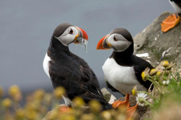 Lundefugl på Island. Lunde og andre sjøfugl opplever hekkesvikt når tilgangen på mat faller under et visst nivå. (Foto: iStockphoto)