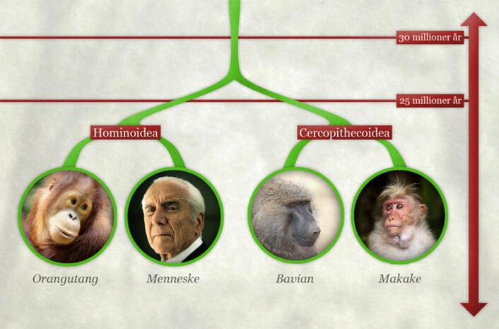 Framstilling av hvordan de to primat-gruppene Hominoidea og Cercopithecoidea skilte lag for mellom 25 og 30 millioner år siden. To av de nålevende artene i hver gruppene er tatt med som illustrasjon. (Foto: (Grafikk: Per Byhring/forskning.no/Colourbox/Yathin S. Krishnappa))