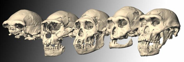 Dmanisi-skallene 1 til 5, fra venstre mot høyre. (Foto: (Illustrasjon: M. Ponce de León and Ch. Zollikofer, University of Zurich))